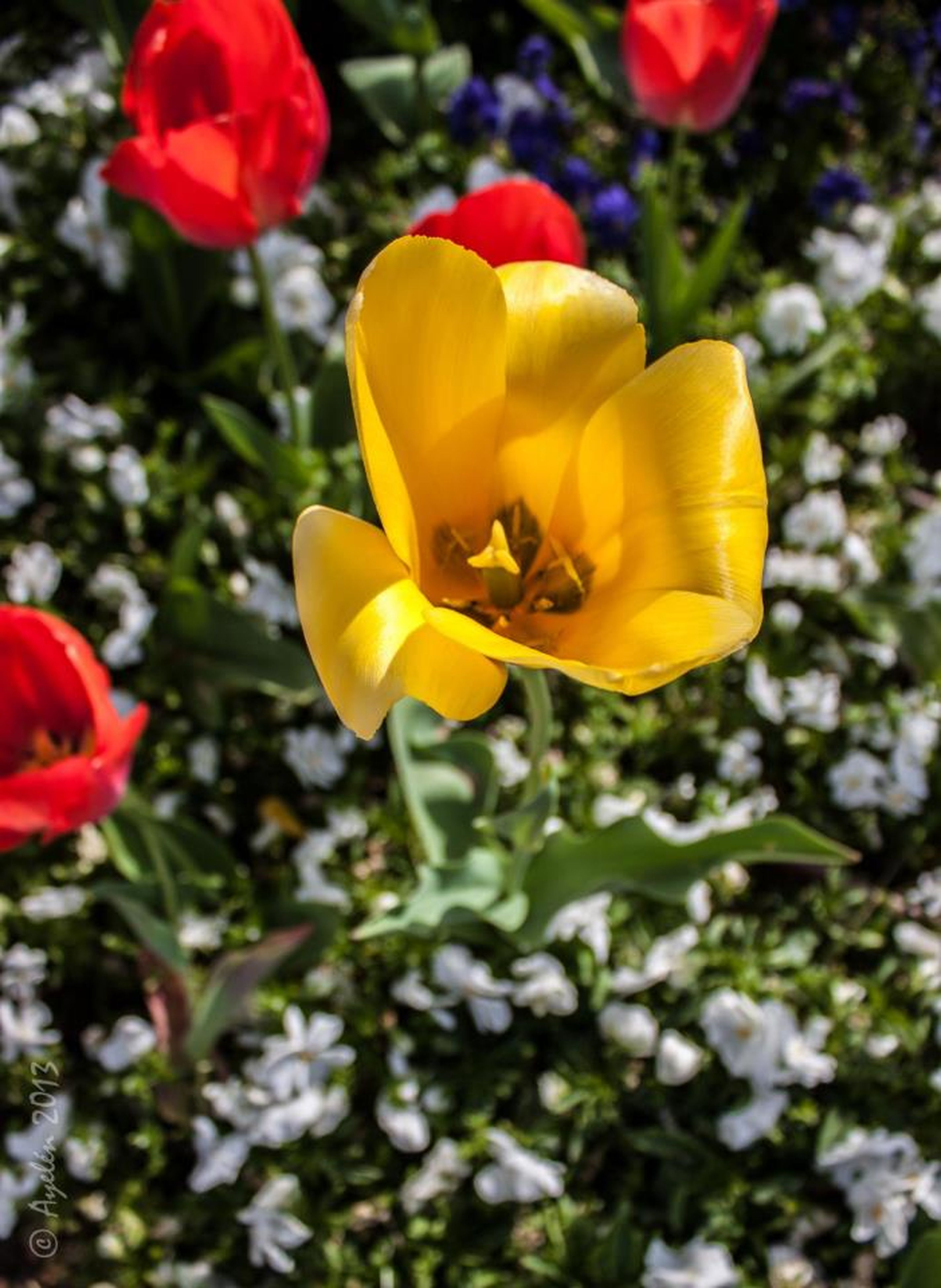 flower, petal, freshness, flower head, fragility, beauty in nature, yellow, growth, blooming, focus on foreground, close-up, nature, plant, in bloom, red, park - man made space, blossom, stem, pollen, day
