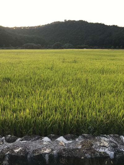 Agriculture Field Growth Crop  Nature Farm Rural Scene Cereal Plant Tranquility Green Color No People Tranquil Scene Landscape Outdoors Rice - Cereal Plant Rice Paddy Beauty In Nature Scenics Grass Day