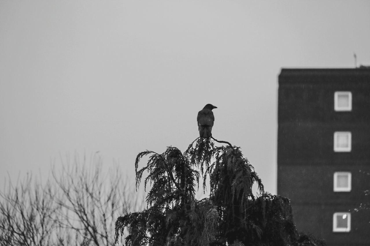 Black omen... Bird One Animal Animal Wildlife Nature Day Tree Raven - Bird Blsckandwhite Black Feathers B&w Omen Death