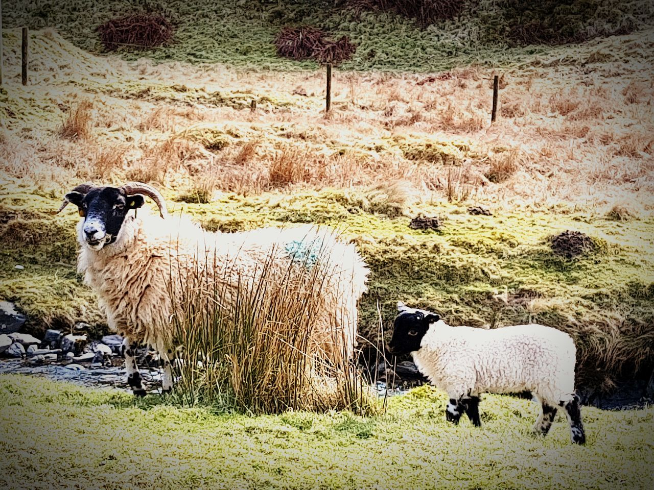 Animal Themes Domestic Animals Livestock Sheep Nature Field Mammal Grass Outdoors Beauty In Nature No People Day Taking Pictures S7 Edge Taking Photos Dumfries And Galloway S7 Edge Photography Landscape Nature S7edgephotography Scenics Drivingshots Beauty In Nature Showcase March 2017 Animal Love