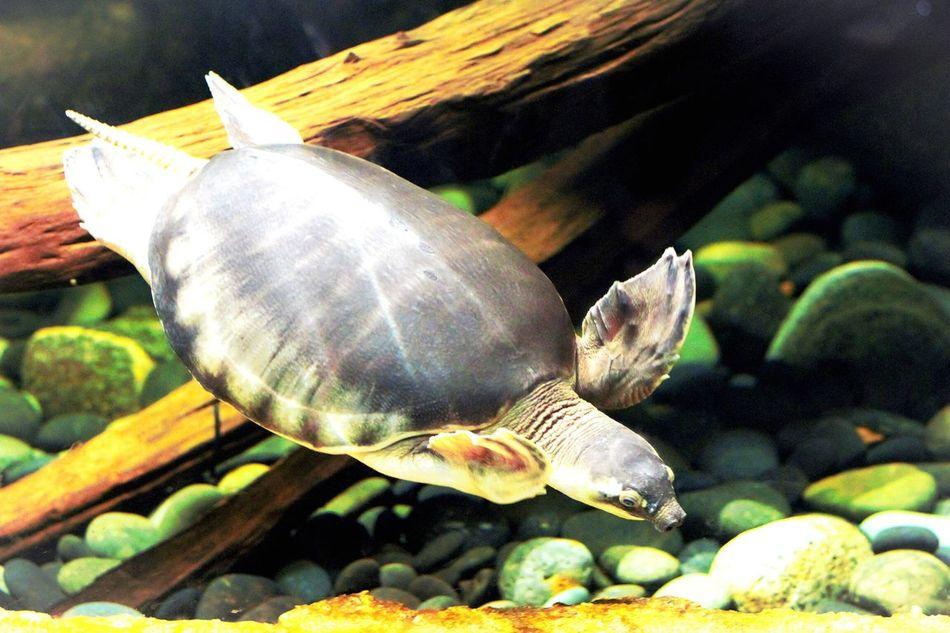Pig nose turtle Park Wildlife Nature Nature Photography CanonRebel Enjoying Life Photographer PortraitPhotography Photography Portraits Canonphotography Canonrebelt5i Photooftheday Hanging Out Pignoseturtle Zoo Saintlouiszoo