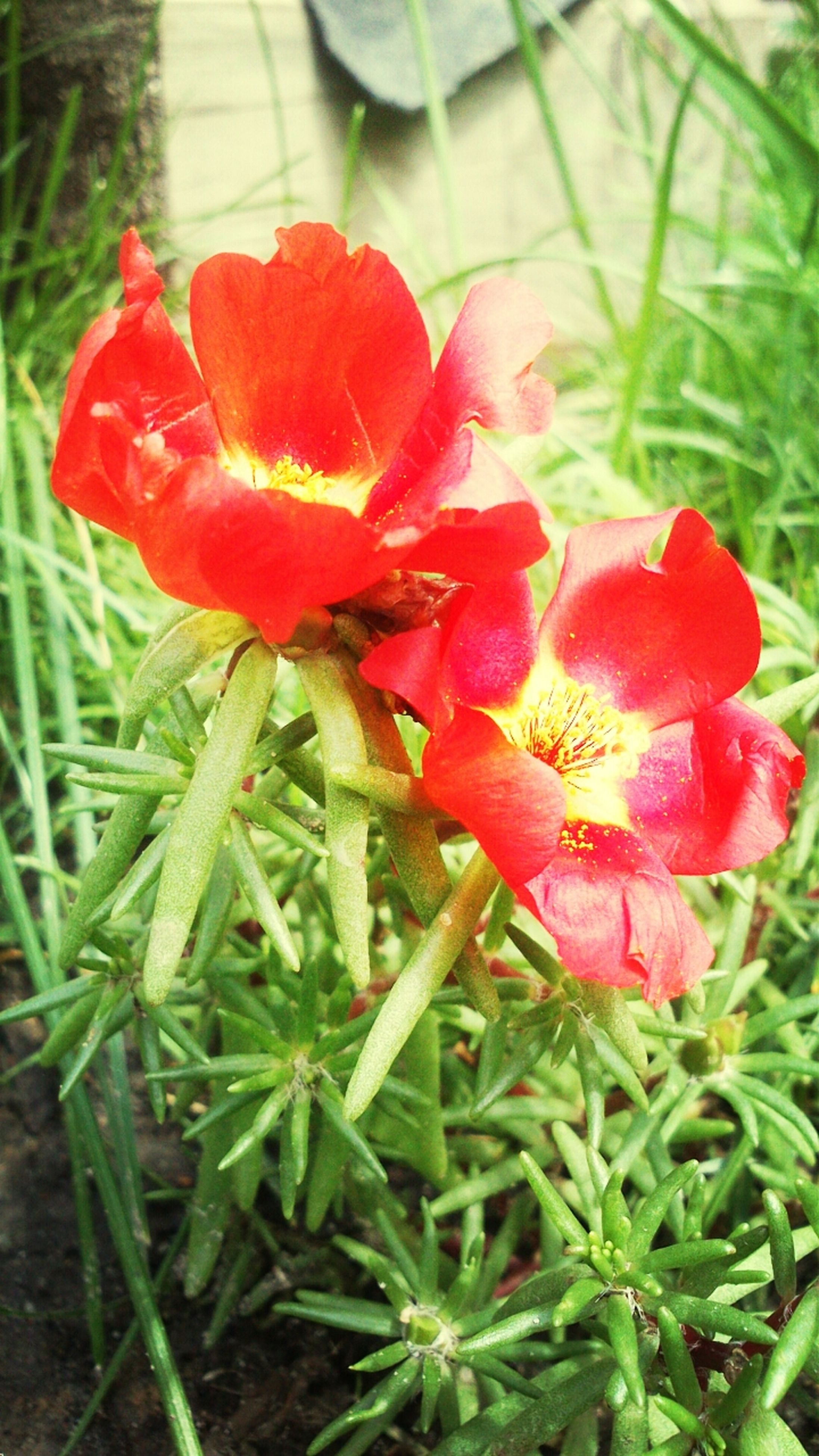 flower, freshness, red, petal, growth, fragility, flower head, plant, beauty in nature, nature, blooming, close-up, focus on foreground, field, green color, in bloom, leaf, poppy, day, high angle view