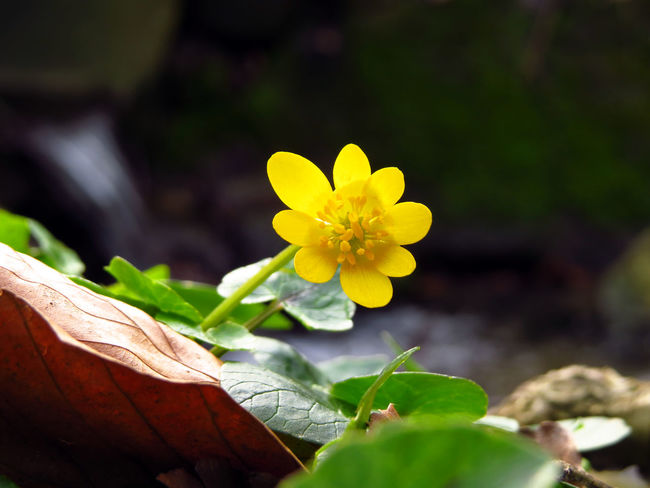 Beauty In Nature Blooming Botany Buttercup Close-up Creek Creekside Crowfoots Day Flower Flower Head Flowing Water Focus On Foreground Foliage Fragility Freshness Growth Here Belongs To Me In Bloom Nature Petal Plant River Spring Yellow