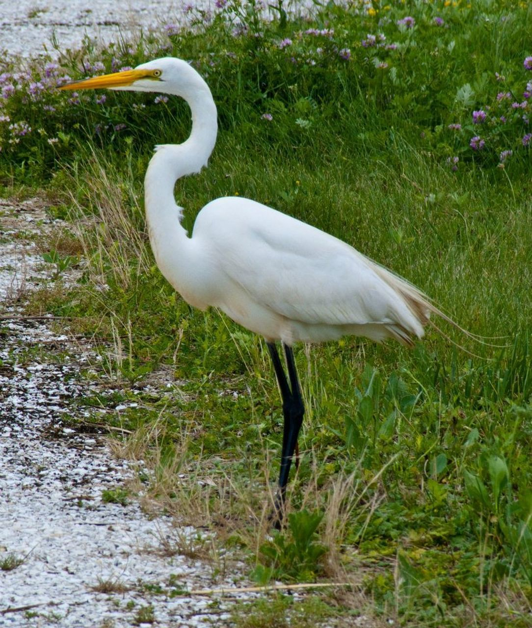 one animal, animals in the wild, animal themes, bird, grass, white color, animal wildlife, day, nature, water, lake, outdoors, great egret, field, plant, no people, standing, beauty in nature, crane - bird
