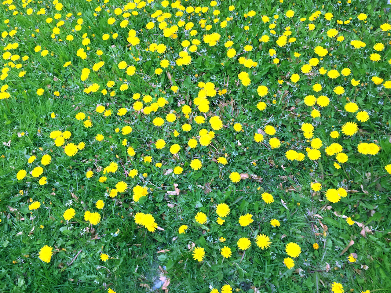 Nature in the city park under spring Beauty In Nature Blooming Blossoming  Botanical City Colorful Field Flower Fragility Freshness Grass Green Color Growth Meadow Mustard Plant Nature Nature Outdoors People Petal Plant Spring Summer Tranquility Yellow
