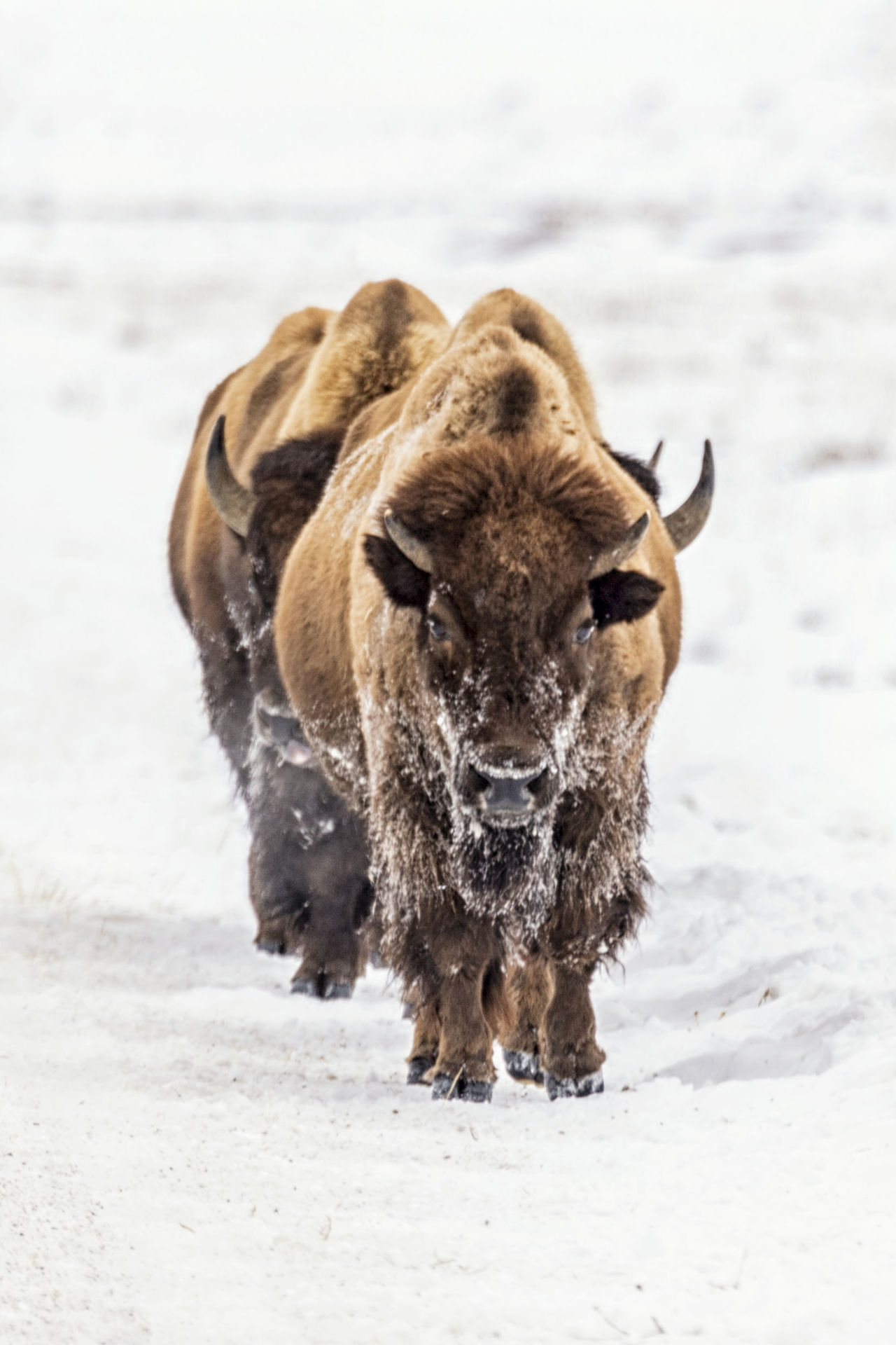 Animal Themes Bison Buffalo Mammal Nature No People Outdoors Road Snow Wildlife Winter