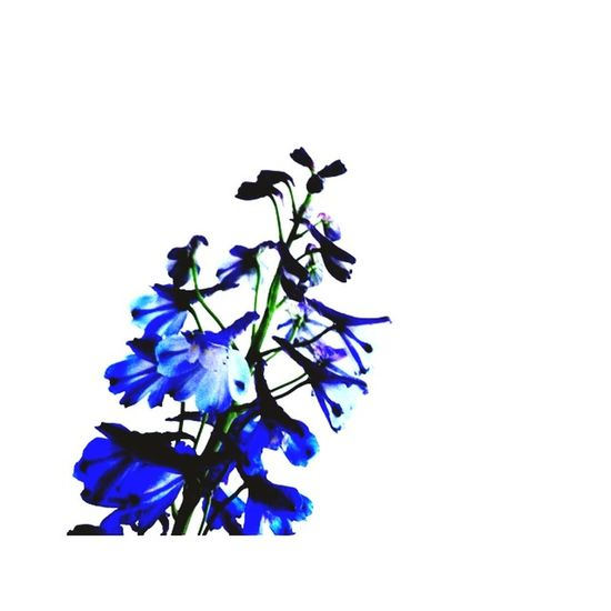 Flower Blue Flower Blue And White Retrica