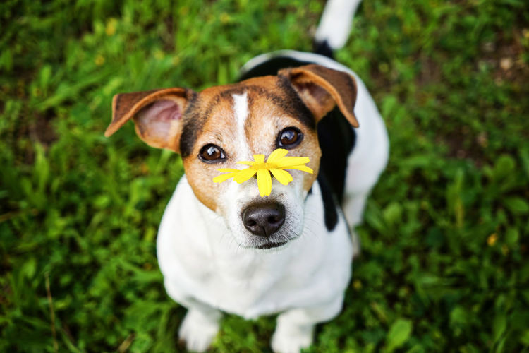 Allergy Allergy Season Animal Themes Bloom Blossom Close-up Day Dog Domestic Animals Grass Hay Haying Time Fever Jack Russell Terrier Looking At Camera Mammal Nature No People One Animal Outdoors Pets Portrait Puppy Spring Summer Pet Portraits