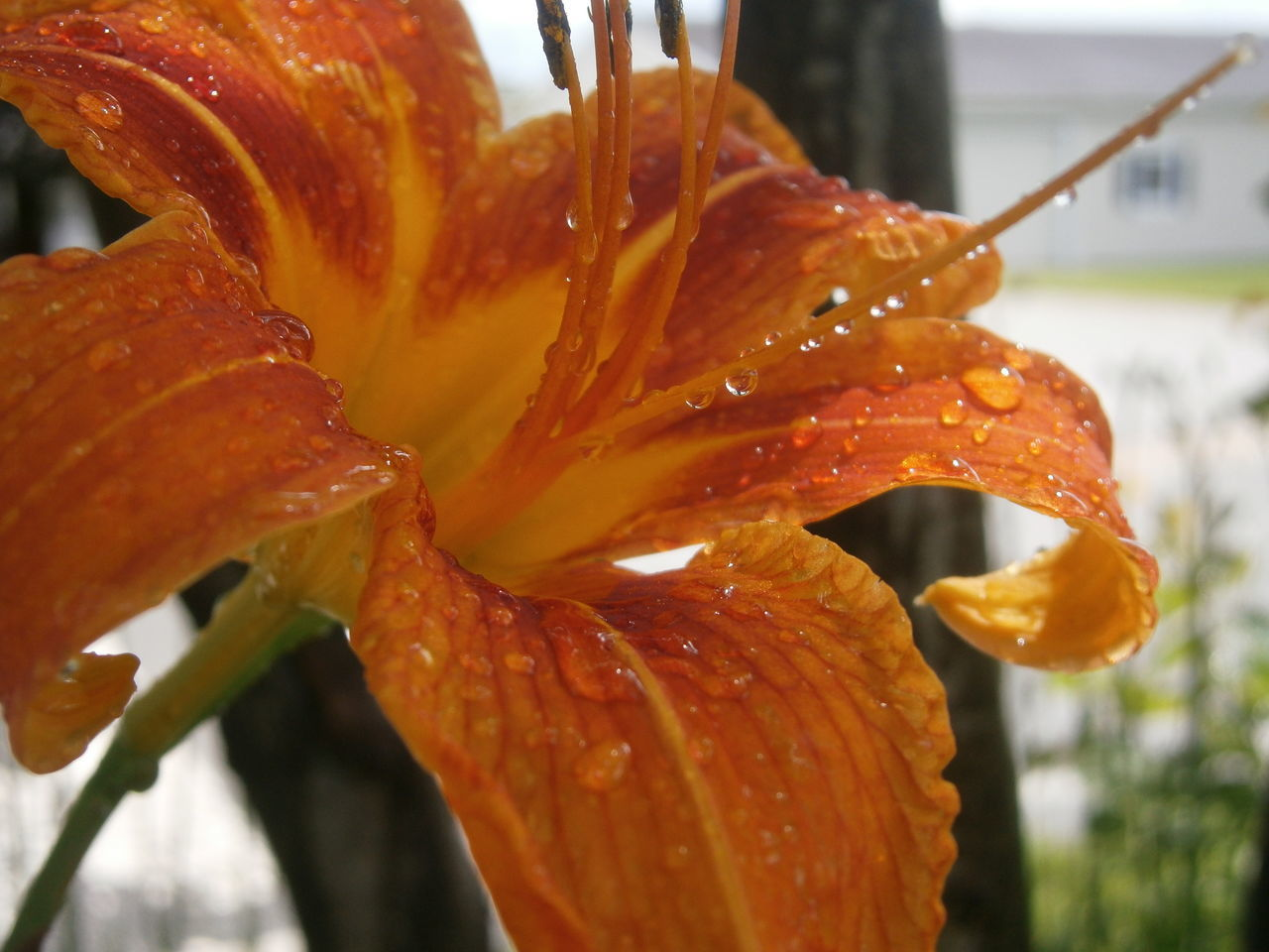 Close-Up Of Wet Orange Day Lily Blooming Outdoors