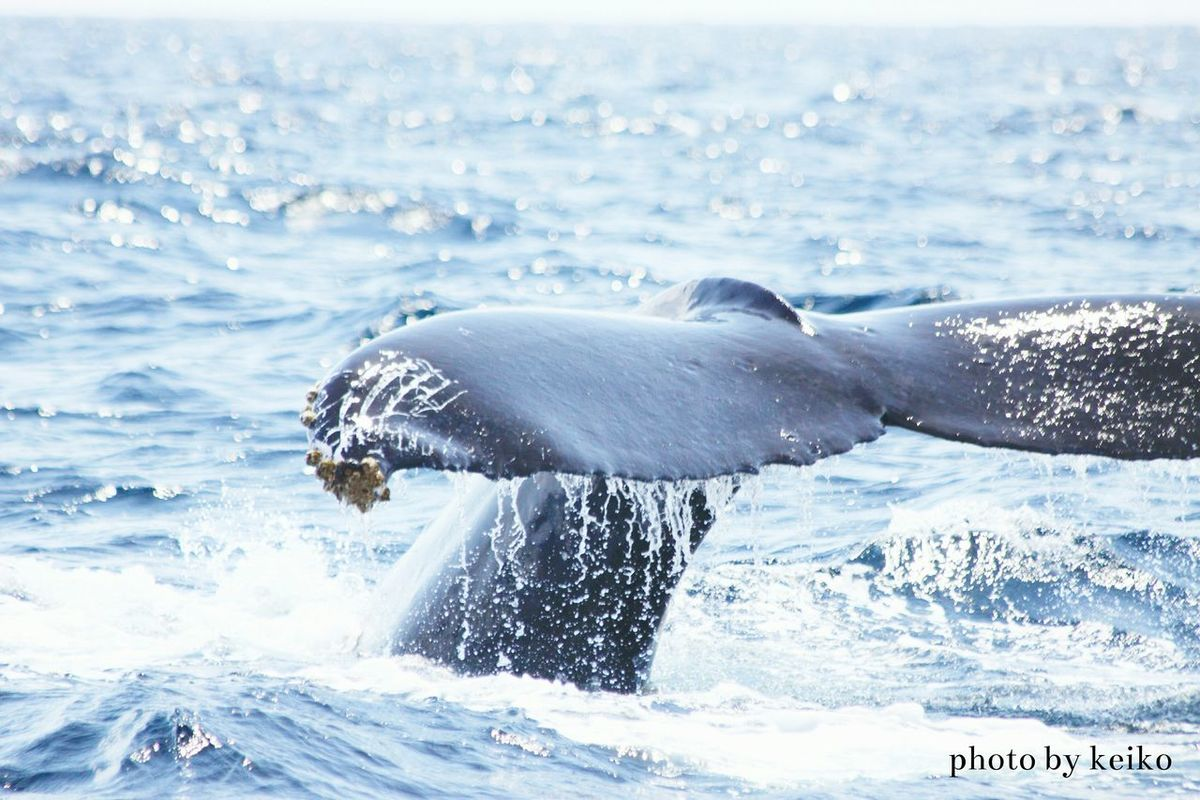 Japan Photography Eyeemphotography EyeEm Gallery EyeEm Best Shots 写真好きな人と繋がりたい Eye4photography  Nature_collection 沖縄 OKINAWA, JAPAN Okinawa 座間味 ザトウクジラ Humpback Humpback Whales Humpback_kei