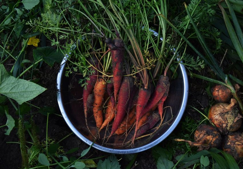 As fresh as it gets. Vegetable Food And Drink High Angle View Food Freshness Healthy Eating No People Outdoors Common Beet Day Farm Farm To Table Carrot Onion Garden Fall Wisconsin Tranquility Red Red Carrots EyeEmNewHere Visual Feast