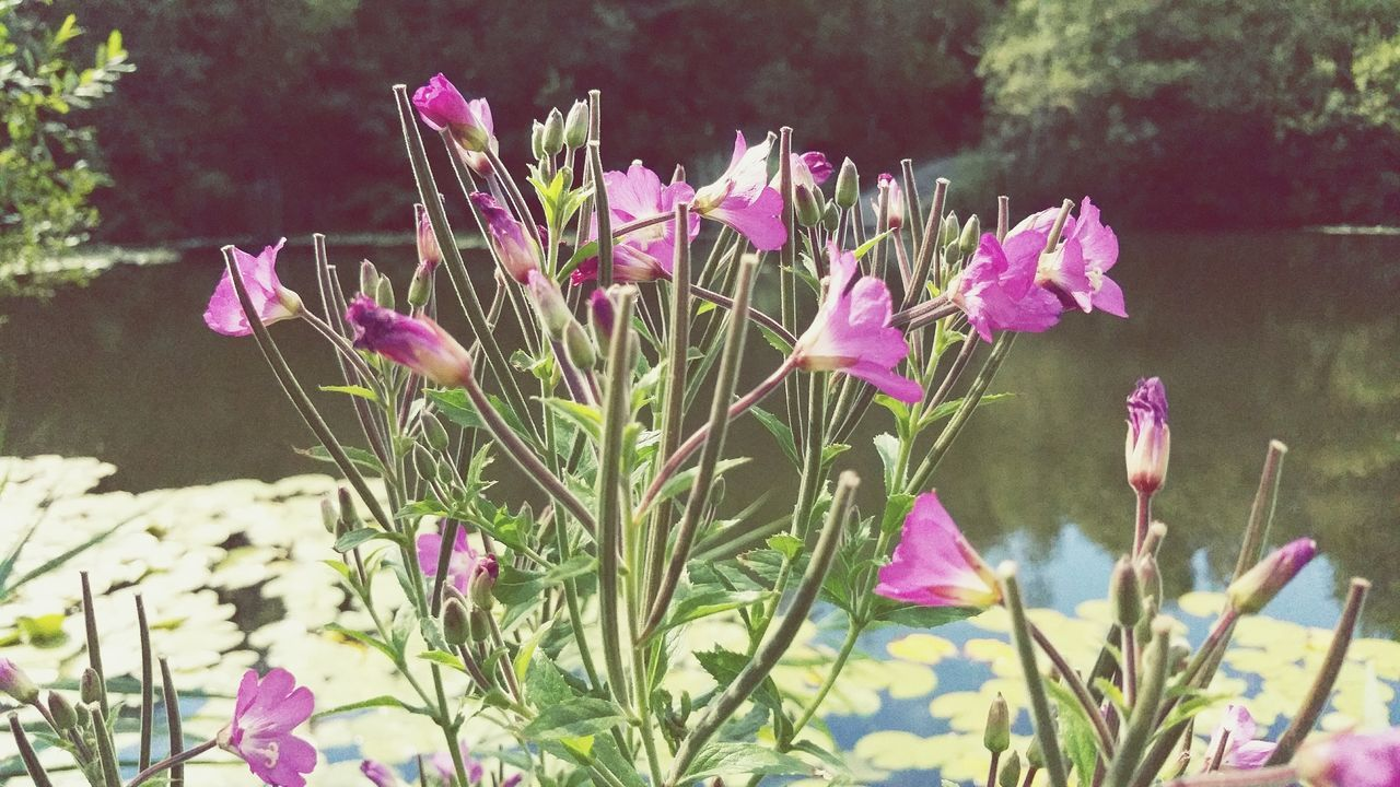 Purple Wildflowers Blooming By Lake In Forest