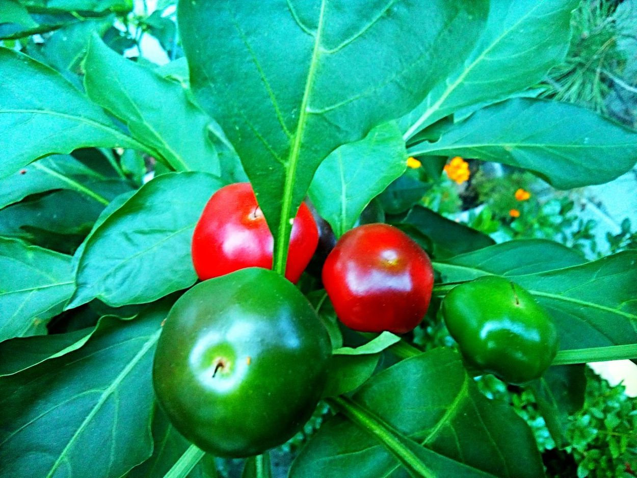 Red Freshness Close-up Green Color Growth No People Growing Red Cherry Peppers vegetable