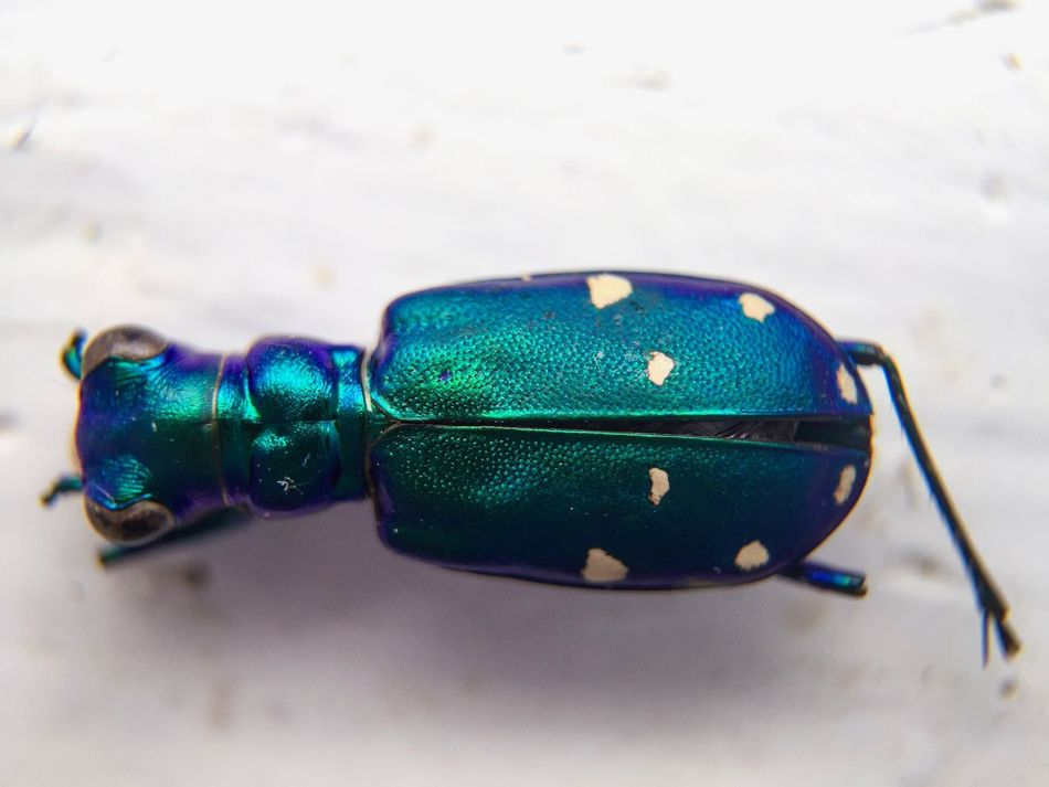 Back Beetle Beetle Insect Nature Blue Bug Bugslife Close-up Colorful Colour Of Life Colourful Colourful Nature Creepy Creepy Crawly Green Iridescent  Macro Nature Nature No People Outdoors Purple Shiny Spotted Tiger Beetle White Background White Spots