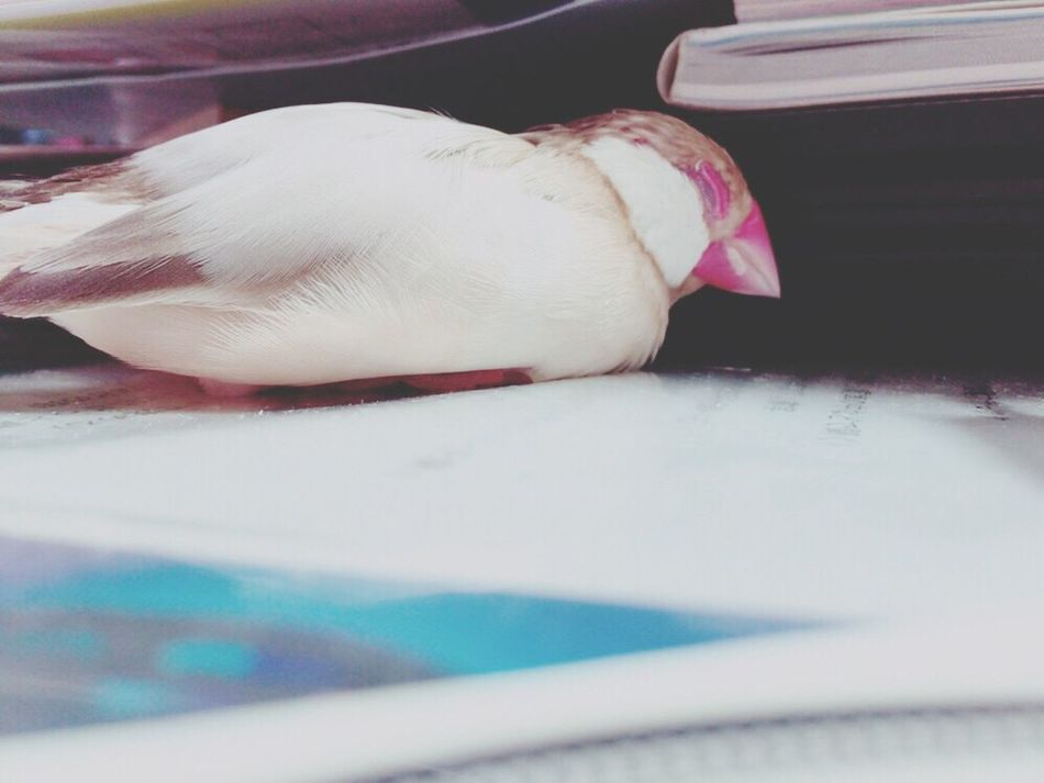 可愛い😂 Holiday Birds Birds Of EyeEm  Birds_collection Birds🐦⛅ Bird Bird Photography Under The Book Book Sleeping Fun Funny Funny Moments Cute Pets Cute Cute Animals Cute Bird🐥 Relaxing Capture The Moment EyeEm Best Shots EyeEm