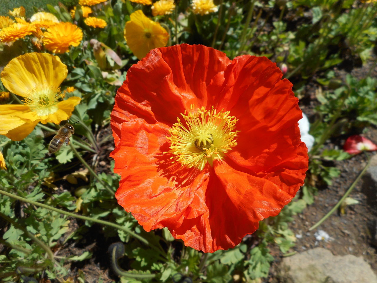 Bee.. makes a beeline.. for flower Beauty In Nature Bee Bee Flying Above Flower Beeline Blooming Bright Sunshine Floriade Canberra Day Flower Flower Head Fragility Growth Insect Nature No People Orange Color Orange Flower Orange Flowers Outdoors Petal Plant Poppy The Purist (no Edit, No Filter) Yellow Centered Flowers Floriade
