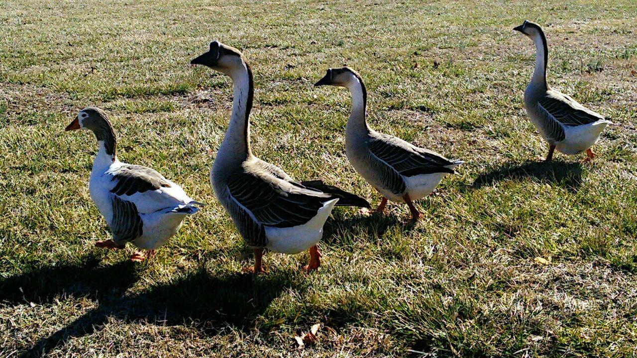 Beautiful stock photos of meadow, Bird, Day, Four Animals, Goose