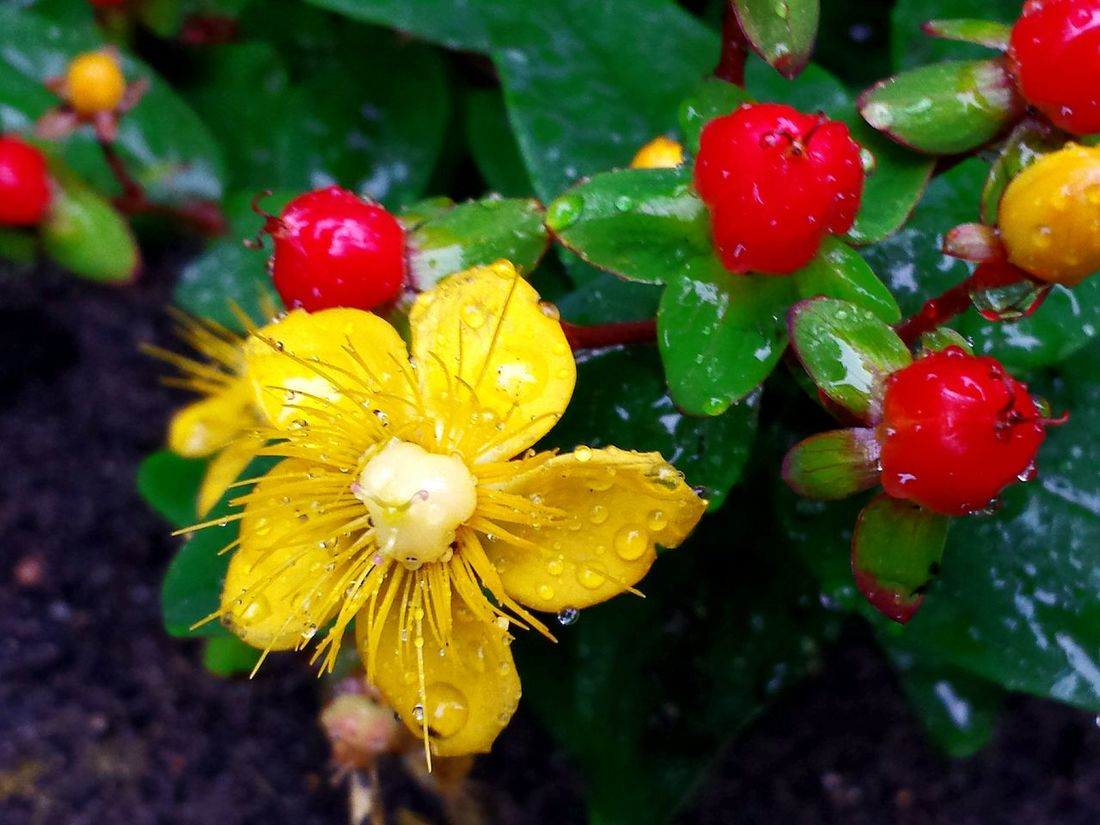 Yellow Flower , Red Berries and Yellow Berries in one colourful plant. Macro_flower Macro Macro Beauty Macro Nature Macro Petals Colourful Nature Colourful Flowers Colourful World Yellow Red Green Sunny Yellow Contrasting Colors , Flowering Plant with Raindrops and Berries, Showcase July After The Rain Fresh Scent Fresh Air Nature Fresh And Beautiful Colour Splash Colour Of LifeMost Colourful