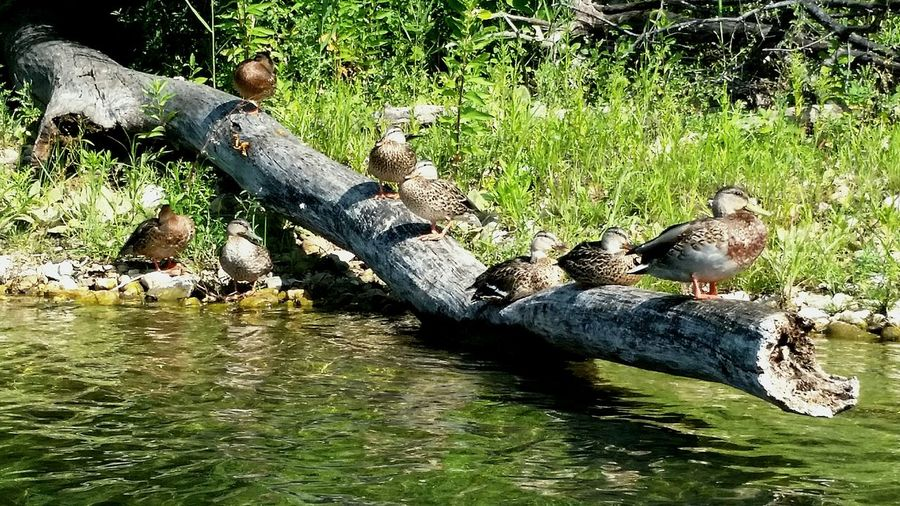 Found some ducks hanging out. Threeoaks Crystal Lake Ducks Quack Quack Going Quackers Just Being Duckies Lake View
