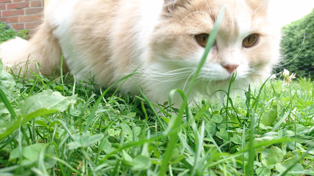 domestic cat, pets, grass, domestic animals, one animal, animal themes, feline, mammal, cat, whisker, green color, day, outdoors, close-up, no people, portrait, nature