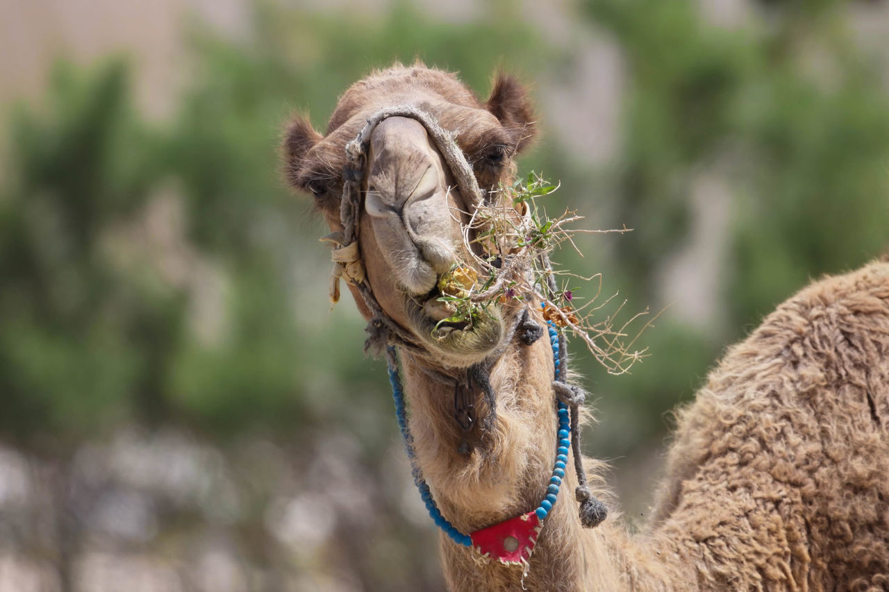 Camel Animal Body Part Animal Head  Animal Wildlife Beauty In Nature Brown Camels Close-up Day Focus On Foreground Grazing Grazing Camel Harness Hump Mammal Nature No People Outdoors Ride Selective Focus Transportation Transportation Vehicle