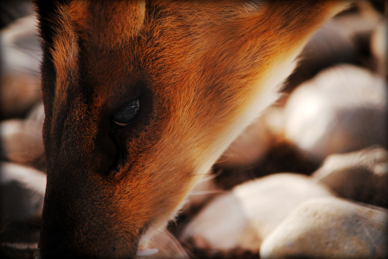 Water Deer Favorite Picture Close Up
