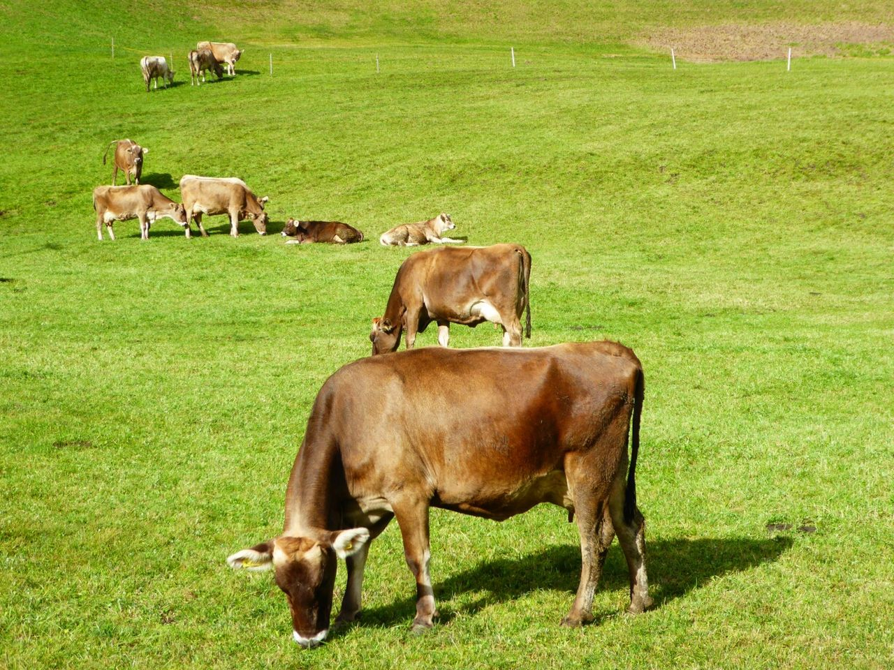 Cows In A Field Cows Grazing Green Green Green!