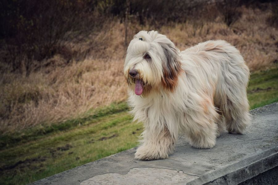Animal Animal Hair Animal Head  Beardedcollie Canine Close-up Day Dog Dogs Dogs Of EyeEm Dogs_of_instagram Dogslife Dogstagram Domestic Animals Focus On Foreground Grass Mammal Nature No People Outdoors Pet Collar Pets Portrait Relaxation Walking The Dog