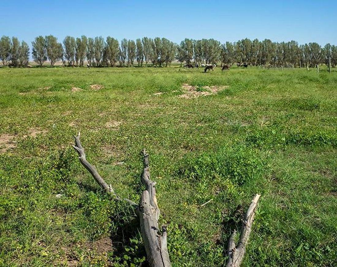 Ricoh Gr Ricohgr Landscape Cow Branches Iraq Dof