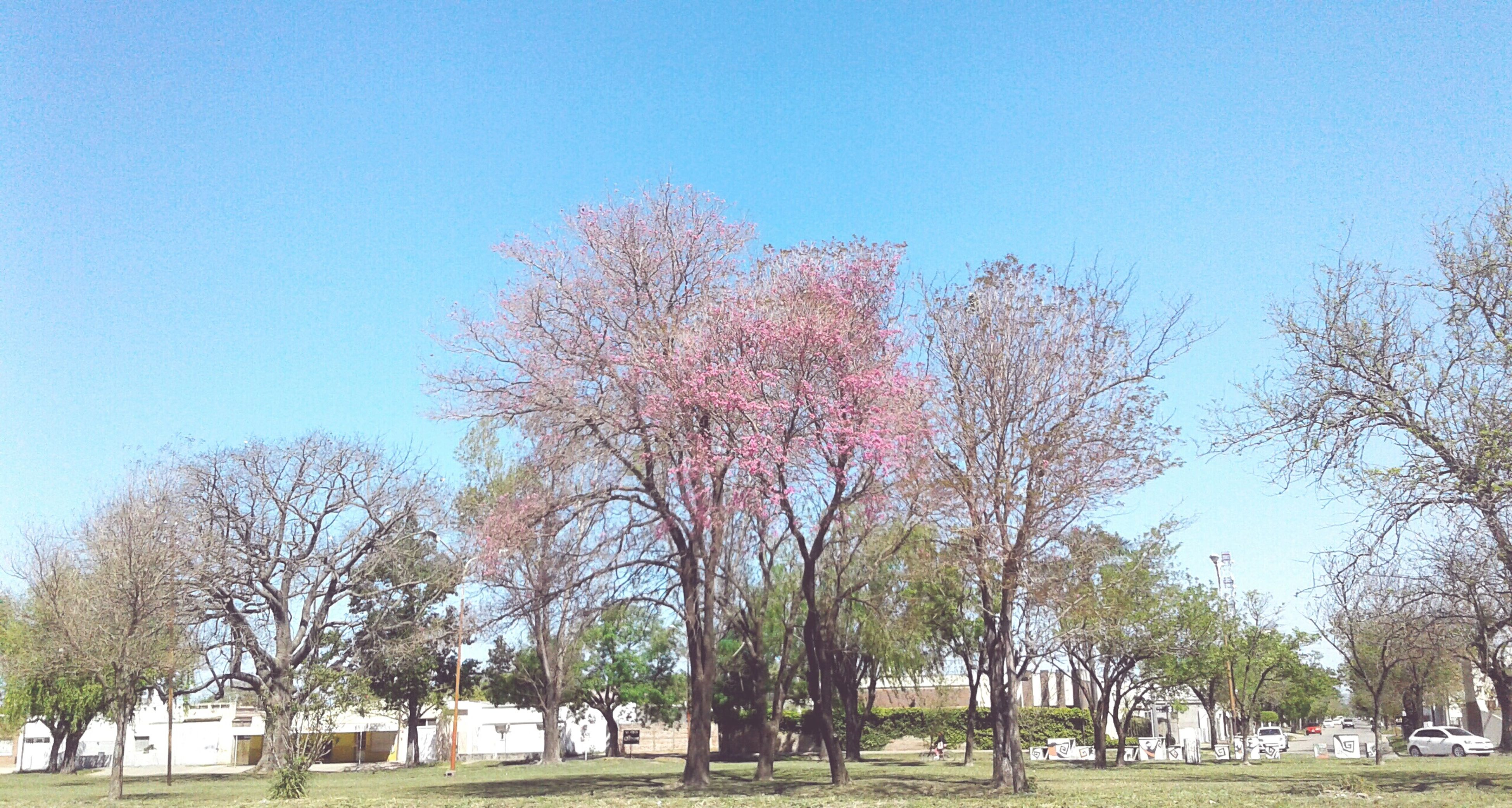 tree, grass, clear sky, blue, large group of people, landscape, park - man made space, day, growth, tranquility, lawn, nature, field, green, tranquil scene, green color, sunny, vacations, beauty in nature, outdoors, person, grassland, yard, solitude, cherry tree, countryside, cherry blossom, flower, park