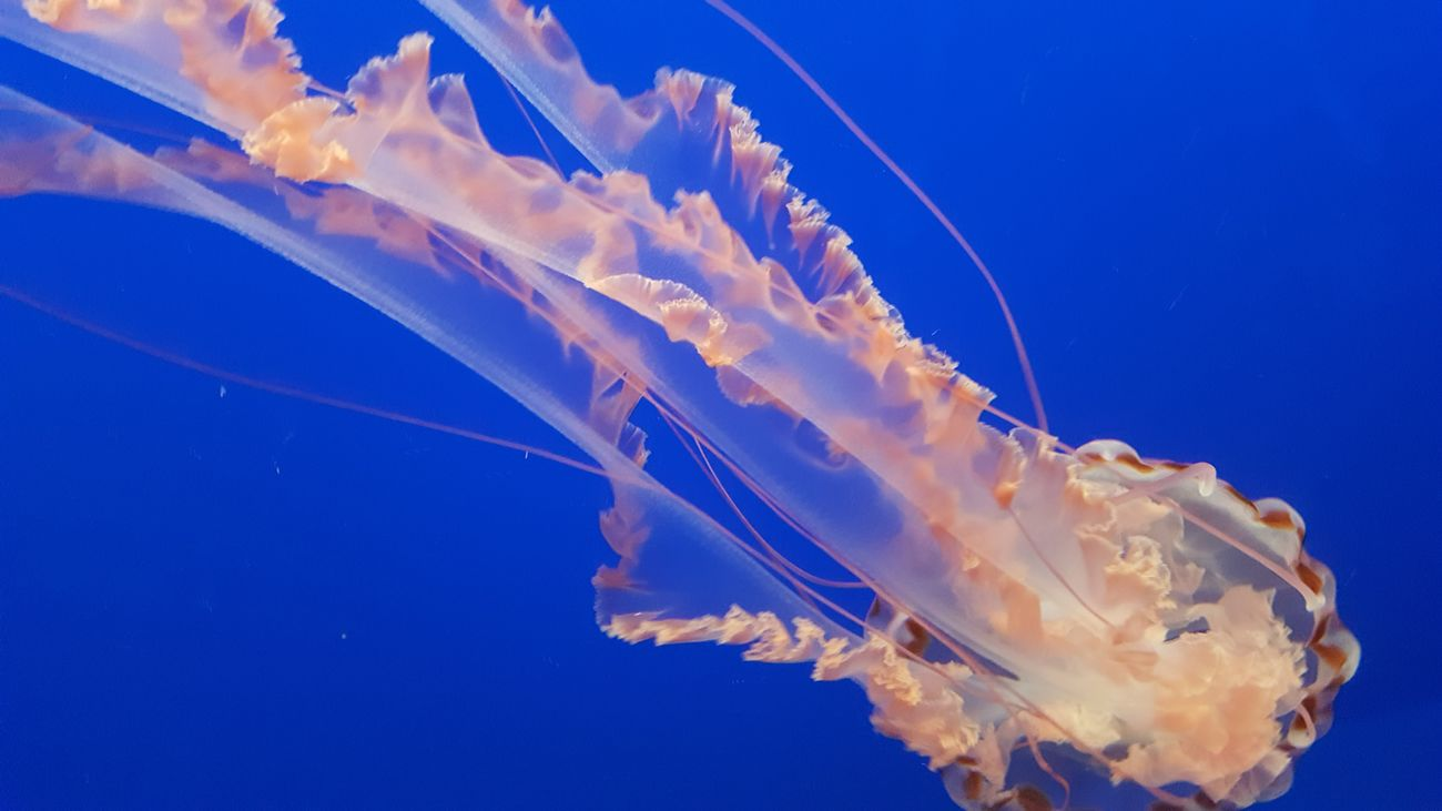 Jellyfish Blue Low Angle View Beauty In Nature Nature Scenics Fragility Blossom Tranquility Vibrant Color Majestic Tranquil Scene No People Monterey Bay Aquarium
