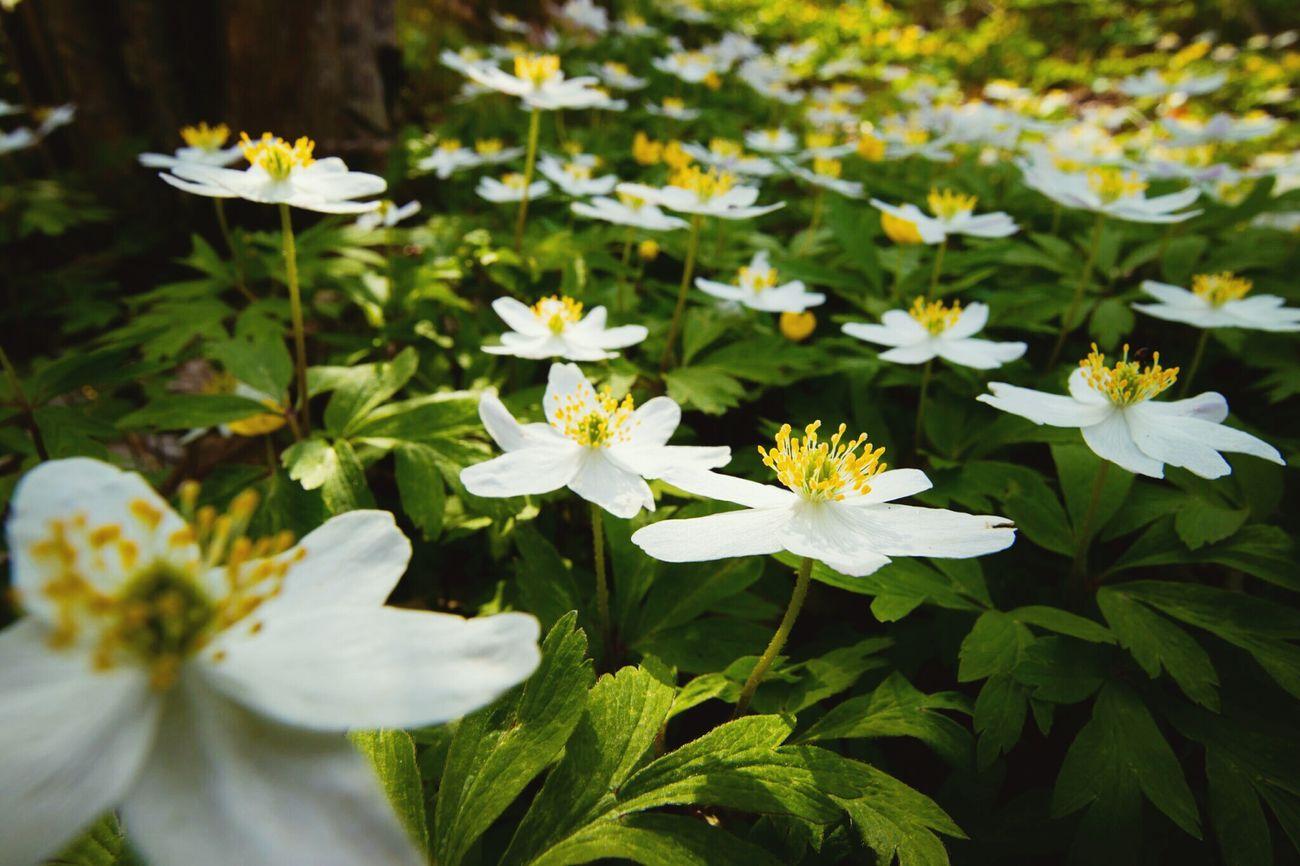 Wood Anemone Vitsippa Vitsippor Spring Scandinavia