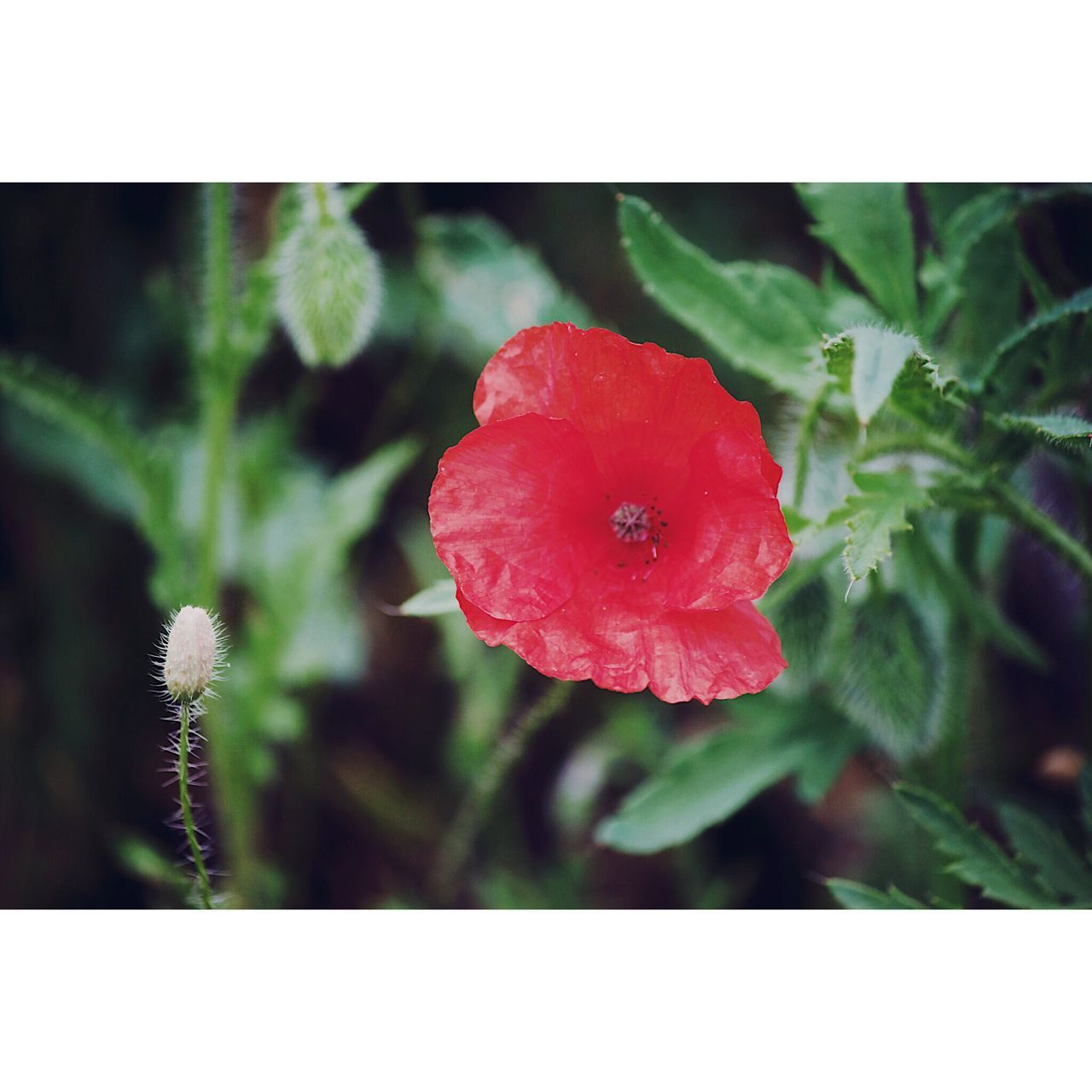 Flower Growth Plant Nature Petal Beauty In Nature Fragility Flower Head Close-up No People Outdoors Day Freshness Red Blooming Poppy Flowers Poppy The Great Outdoors - 2017 EyeEm Awards