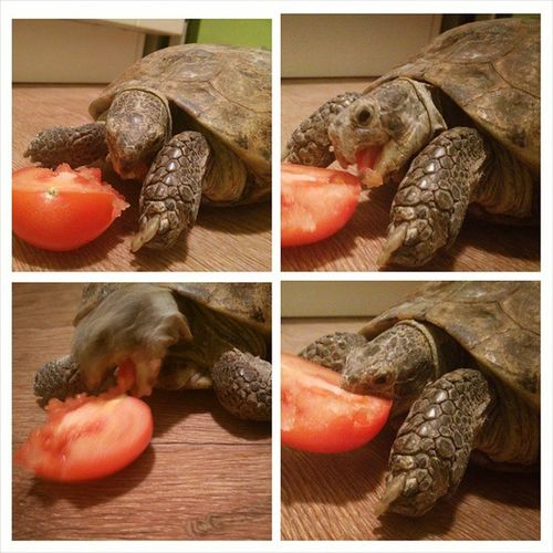 Разве она не милаха?)))) мимими Cute Turtle черепаха Тора PhotoGrid animals animal pet photooftheday cute pets instagood animales cute love nature animallovers pets_of_instagram petstagram petsagram