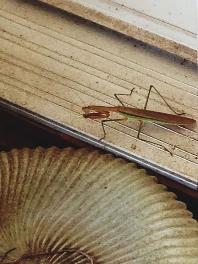 Hanging Out Taking Photos Enjoying Life Check This Out Preying Mantis Preying Mantis Collection EyeEm Nature Lover Nature_collection Naturelovers Beautiful Nature