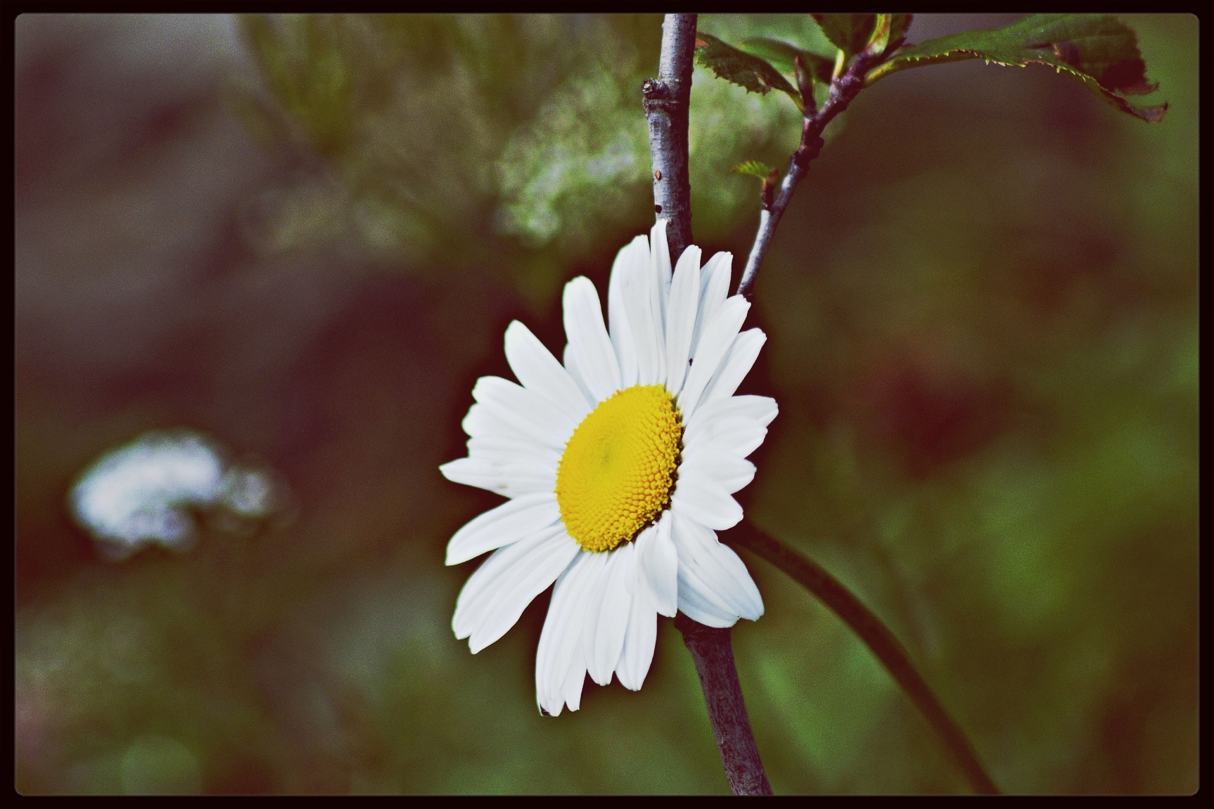flower, petal, flower head, freshness, fragility, transfer print, growth, close-up, beauty in nature, single flower, focus on foreground, blooming, auto post production filter, white color, nature, plant, pollen, in bloom, blossom, selective focus