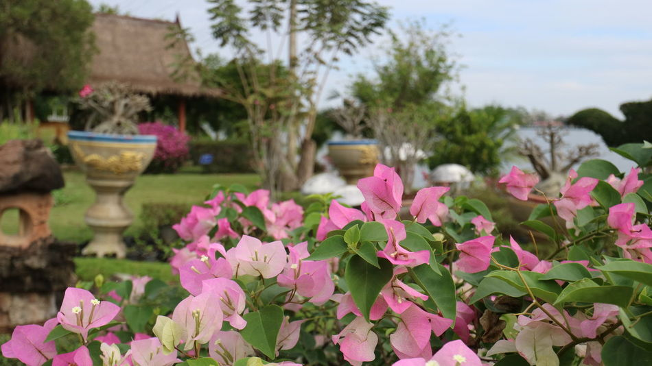 Bougainvillea Bougainvillea Flower Pink Color Flower Nature Thailand Spanburi 花 ブーゲンビリア