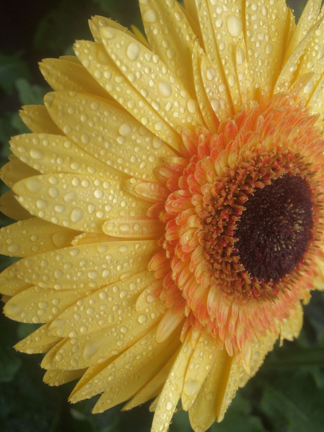 Gerberdaisy Daisy Flower