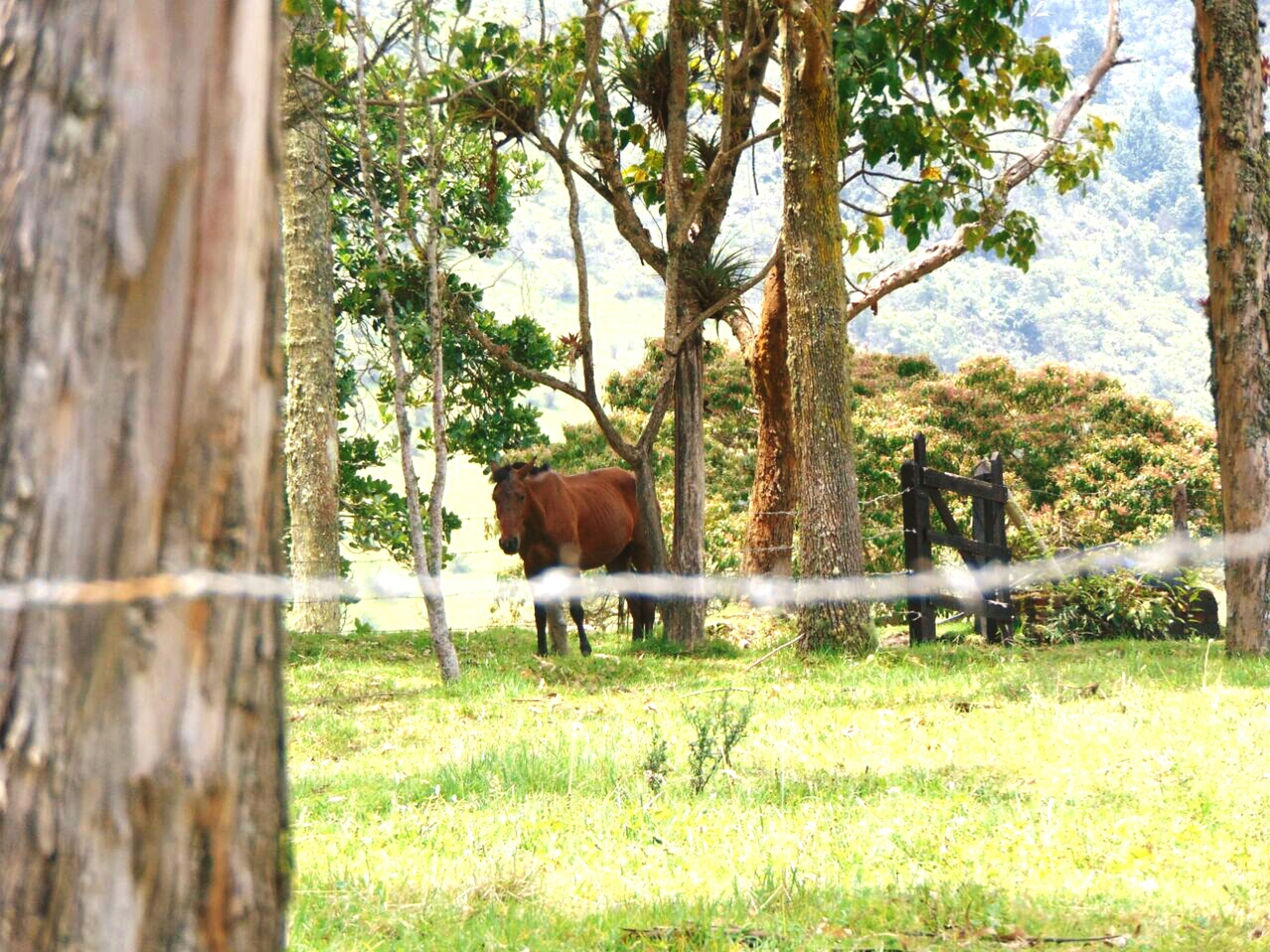 animal themes, tree, mammal, domestic animals, livestock, one animal, fence, horse, herbivorous, green color, tree trunk, growth, grass, wildlife, grazing, standing, nature, two animals, cow, day