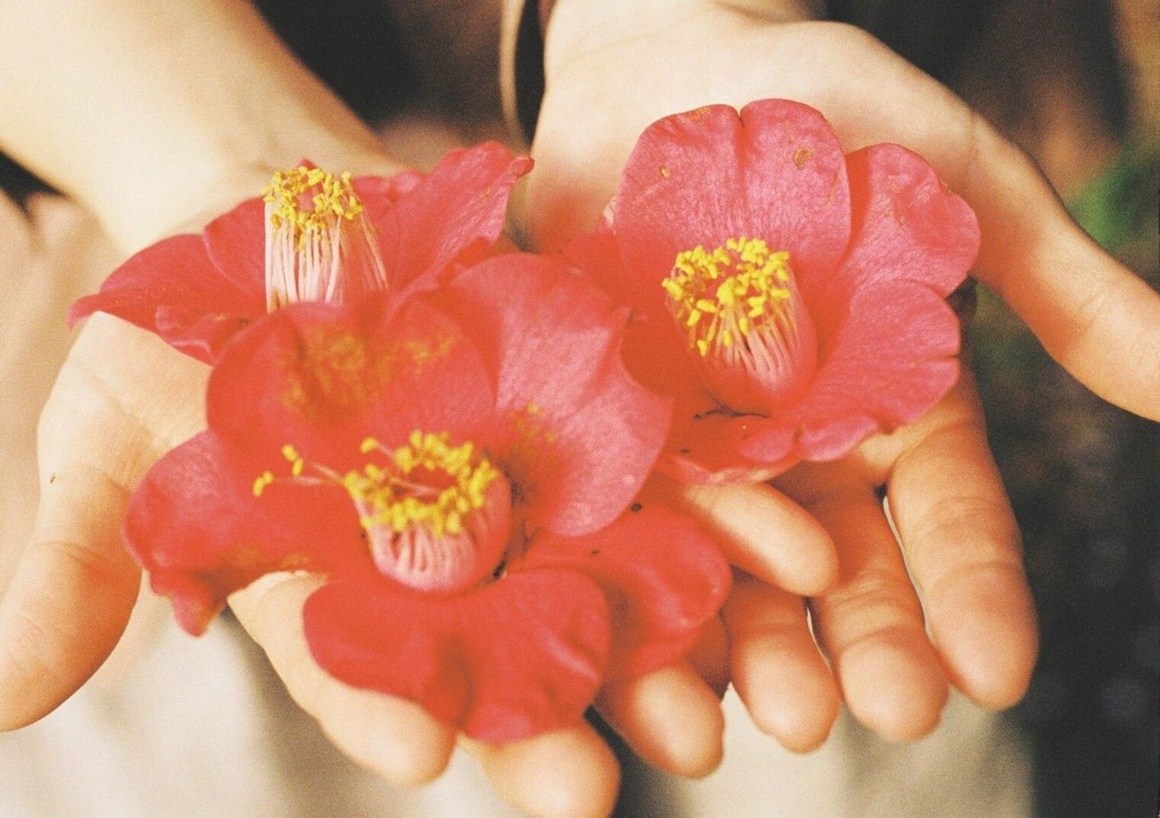 Camellia Human Hand Flower One Person Close-up Flower Head Camellia Film Photography