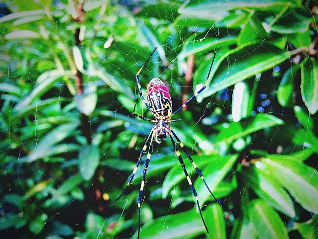spider Spider Web Insect Nature Outdoors Green Color Nature Photography Iphonephotography Autumn From My Point Of View September 2016 Fukuoka,Japan