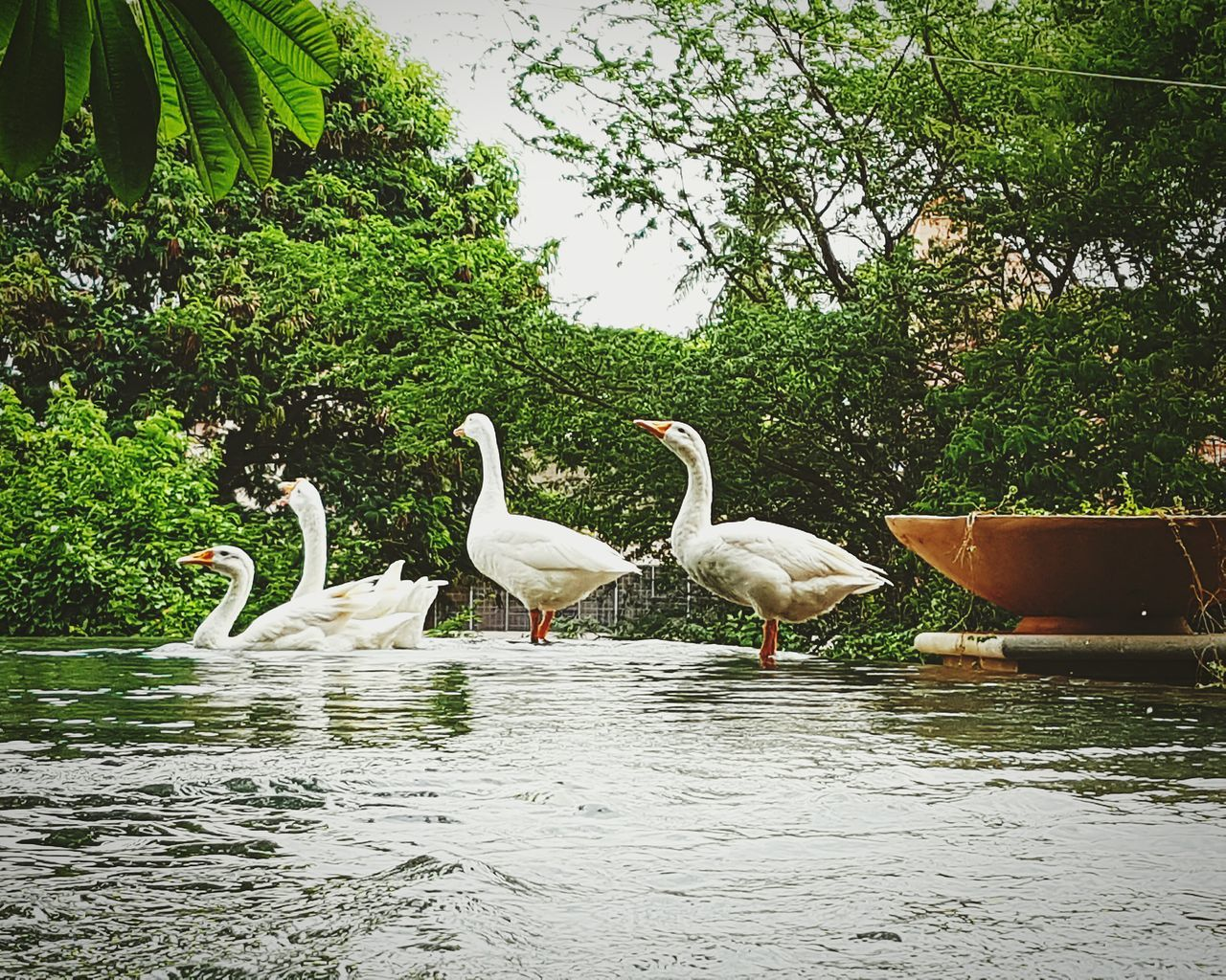 Geese taking their morning swim Travel Photography Mysore Radissonblu Birds Water Mobilephotography Karnataka