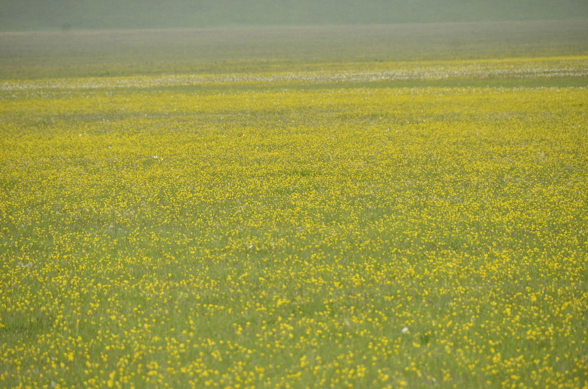 Agriculture Beauty In Nature Castelluccio Di Norcia Castelluccio Valley Day Earthquake In Italy Field Flower Fragility Freshness Nature No People Outdoors Rural Scene Tranquil Scene Yellow