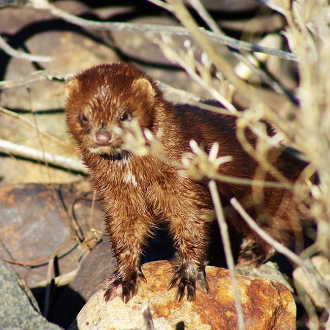 """Photo of the day: """"Did you bring food?"""" AmericanMink Getoutside"""