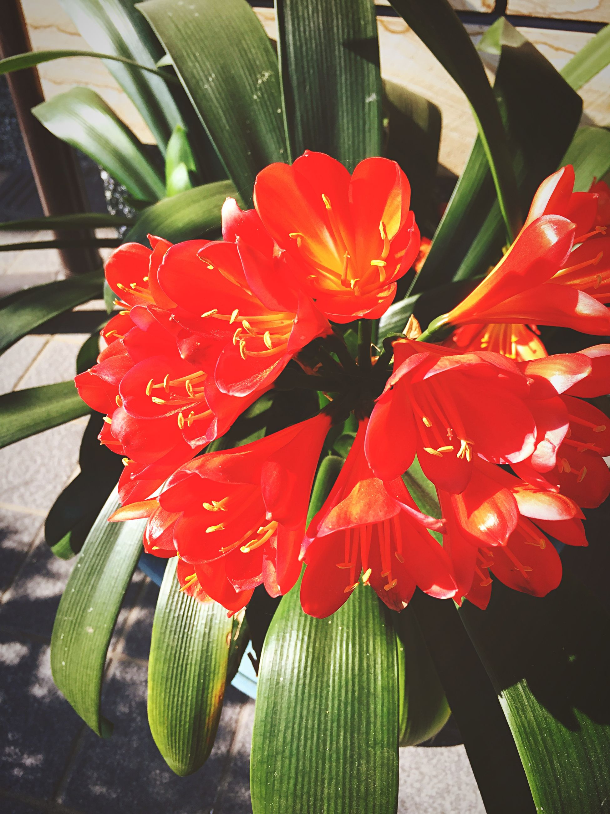 flower, freshness, petal, red, flower head, fragility, growth, beauty in nature, leaf, plant, nature, blooming, close-up, focus on foreground, in bloom, potted plant, day, sunlight, high angle view, single flower