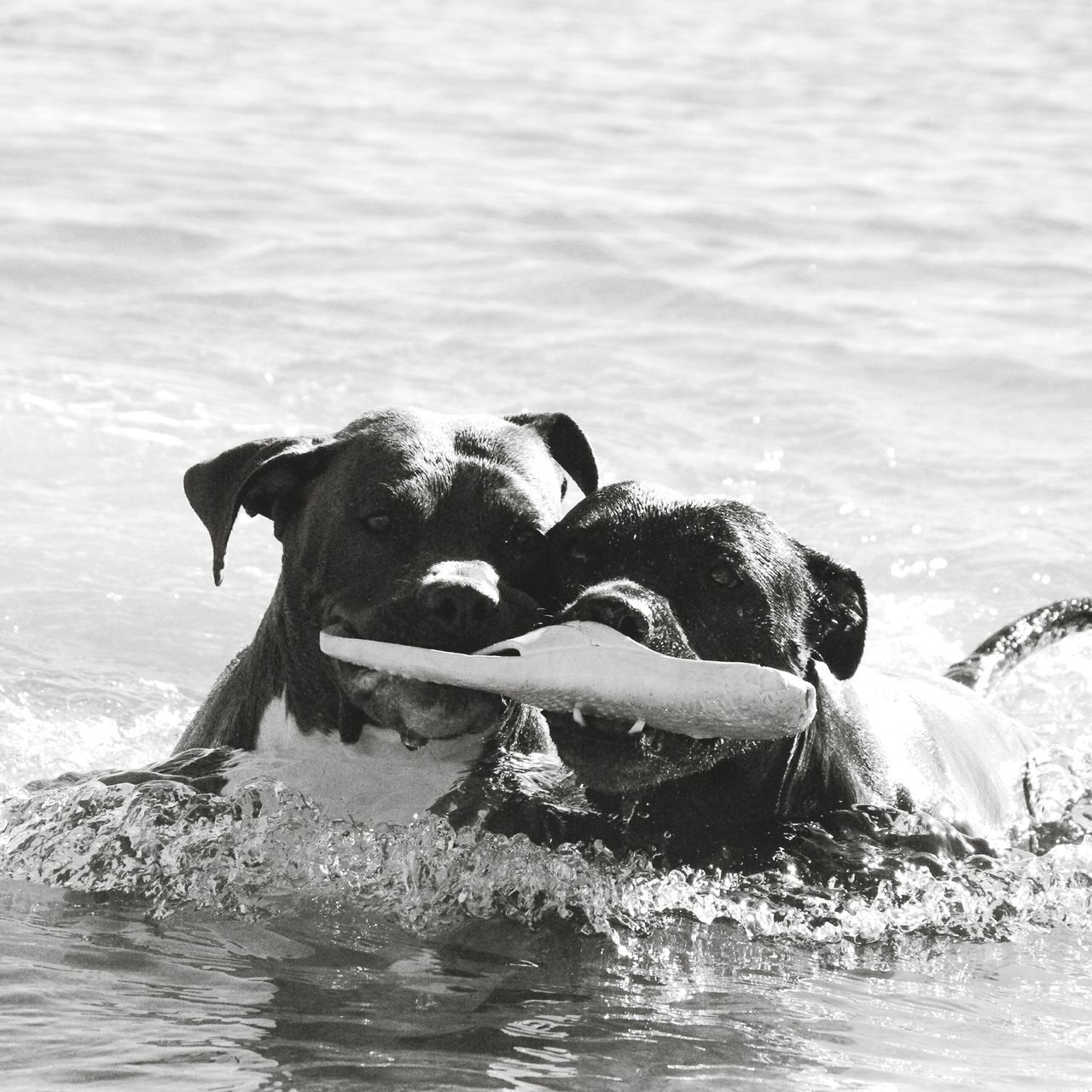 Juegos en el mar Pitbullove Surf Pitbullsofinstagram Pitbullsofficial Dogmodels Pitbull Dog Love Vacations Happiness Summer Travel Animal Real People Day Beach Water Doggirl Tranquility Waterfront Nature First Eyeem Photo Mammal Weimaraner One Animal Domestic Animals