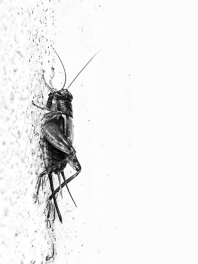 Insect Animal Themes One Animal Animals In The Wild Wildlife Close-up No People Nature Bugs Blackandwhite Crickets Focus On Foreground Bug Zoology