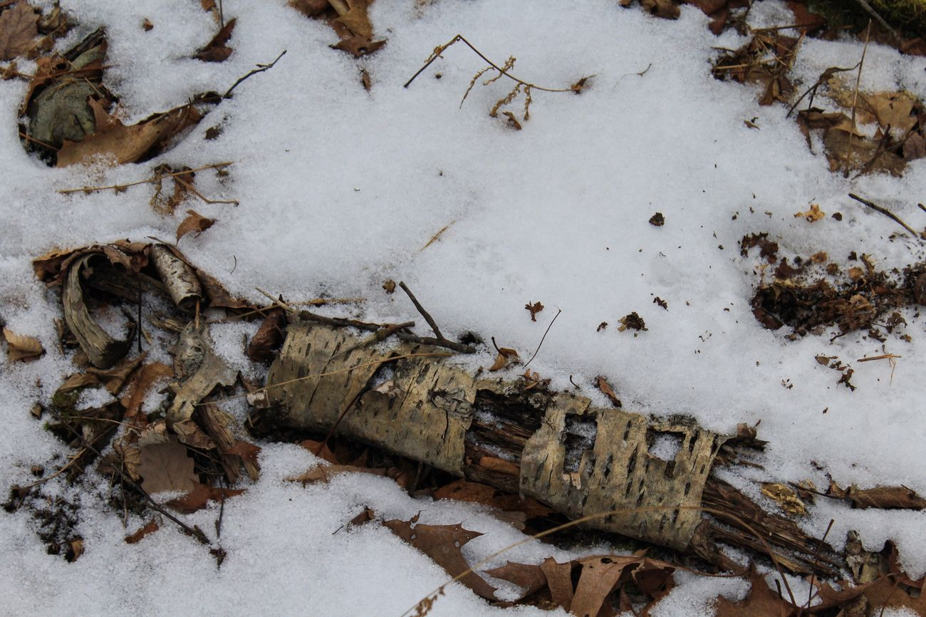 Winter Birch Bark Curled Up Snow Leaves On The Ground