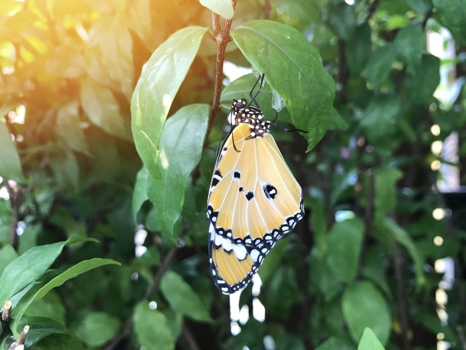Insect Butterfly - Insect Animal Themes Animals In The Wild One Animal Butterfly Leaf Outdoors Animal Wildlife Nature Focus On Foreground Day No People Close-up Beauty In Nature Fragility Full Length Freshness Perching