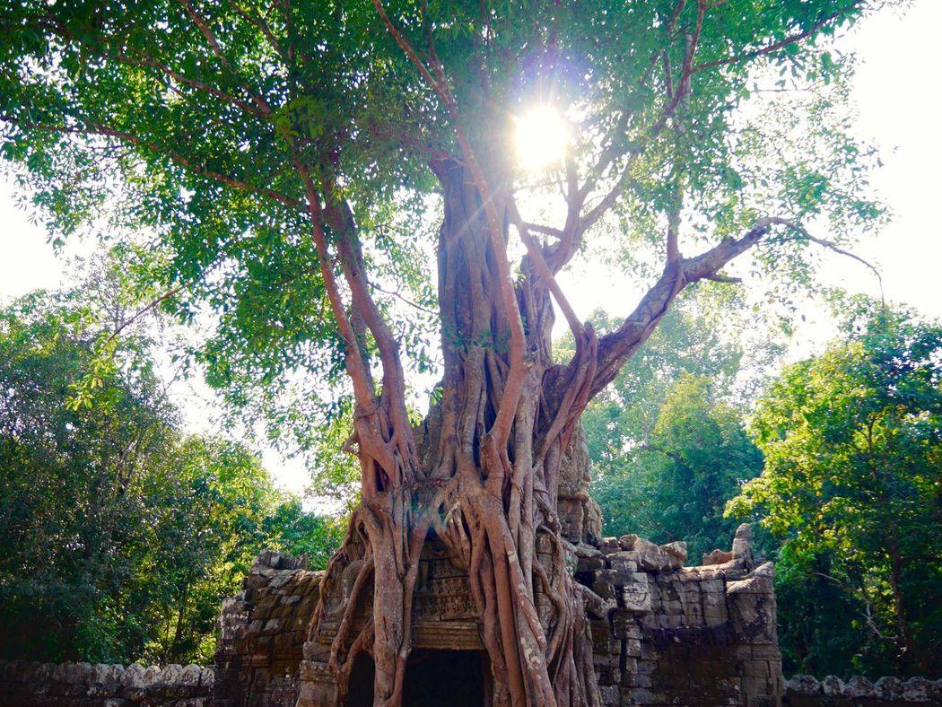 Trees Big Tree Big Trees Ruins Ruine Angkor Ta Prohm Tomb Raider  Light And Shadow Vegetation